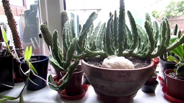Putting the Cacti & Succulents into our Plant Room – day 2