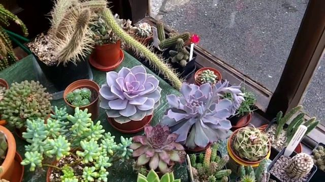 How to care for & grow Echeveria Succulent plants