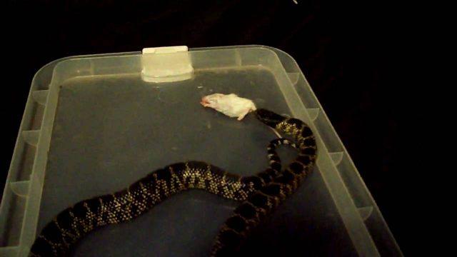 Desert King snake striking