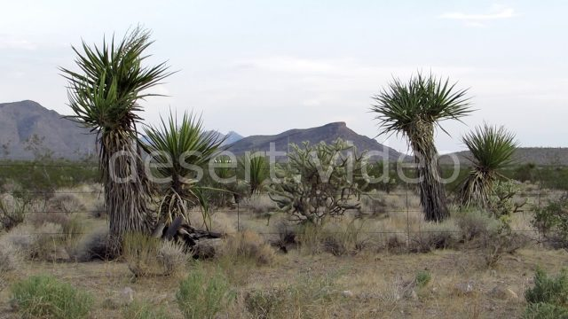 Yucca Plants and Cholla Cactus Desert Arizona Landscape
