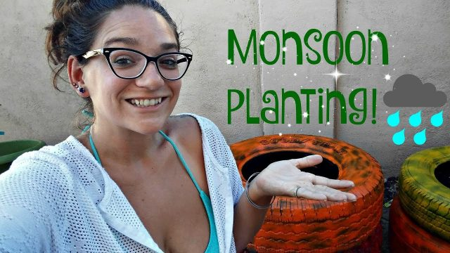 Planting tire beds with monsoon crops : Az urban gardening