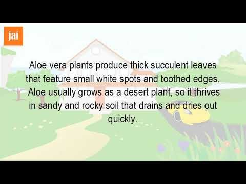 Is Aloe Vera Is A Desert Plant