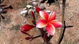 Plumeria tour of Arizona backyard – Spring 2017