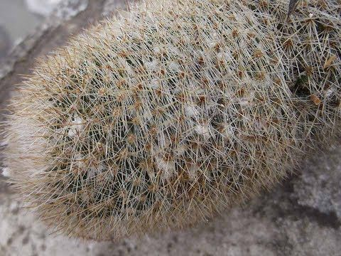 How to remove Mealybugs from VERY spiny or hairy Cactus Plants