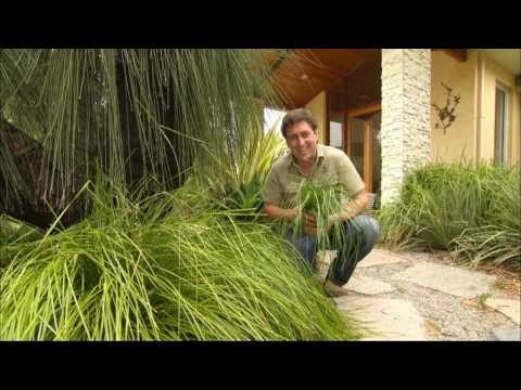 TANIKA is a drought tolerant low maintenance Lomandra | landscape plant