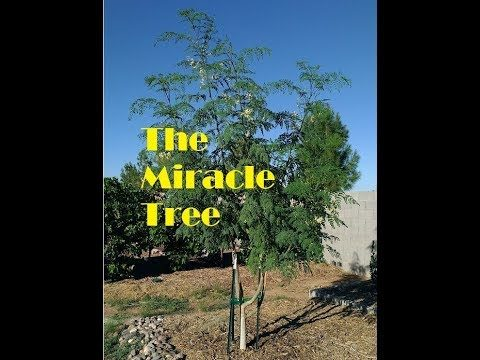 Growing Moringa in the Arizona Desert