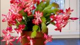 Care & Culture of Christmas Cactus