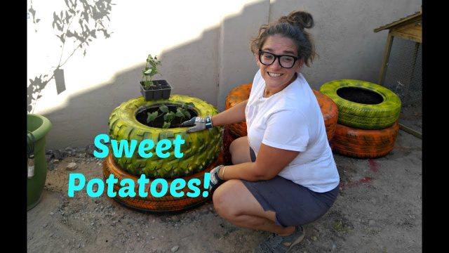 Planting sweet potatoes in tires! Az urban gardening