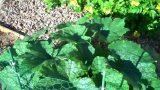 Gardening: Zucchinis in Arizona