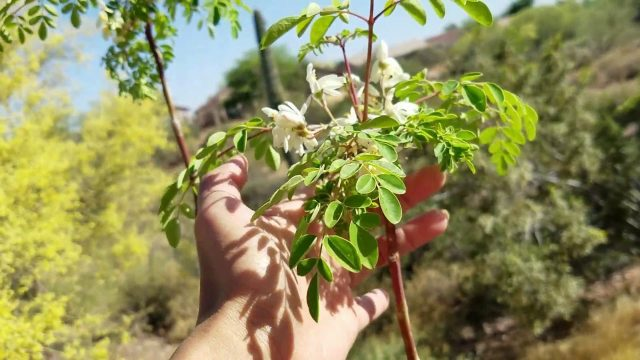 Calamondin and Moringa Plants that Thrives in Sonoran Desert Arizona