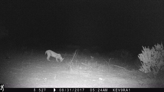 Kevs Texas Trail Cam – Chihuahuan Desert Bobcat