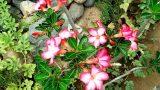 planta rosa del desierto/Pink desert plant