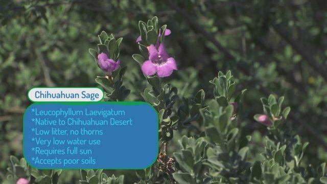 Desert Landscaping – Texas Sage