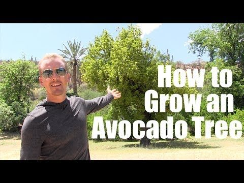 How to Grow An AVOCADO TREE in the DESERT of ARIZONA