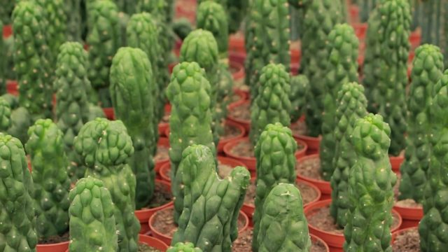 The origin of our Peyote and San Pedro Cacti – By Zamnesia Webshop