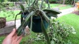 Re potting my two Dragon Fruit Cactus plants – Hylocereus undatus