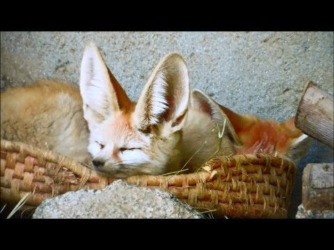 Fennec Foxes Nap Together in The Living Desert