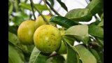 FRUITS FROM BOTANICAL PARK & GARDENS OF CRETE
