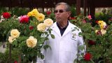 Star Nursery Dr Q Rose Gardening In The Desert