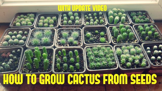 How to Grow Cactus From Seed (With update video)