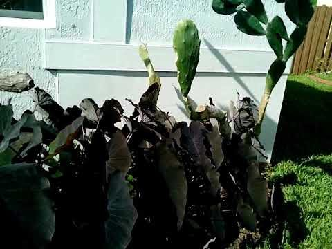 Black magic plant & Cactus Nopal landscape