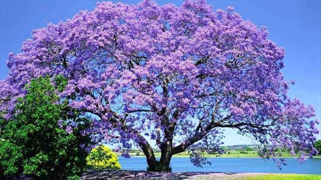 Great Landscape Tree Jacaranda – Suitable Climate – How It Grows – Associate Plants
