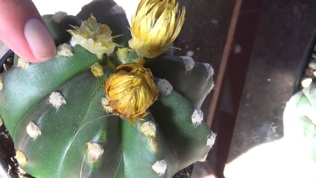 How to remove fake flowers from Cacti