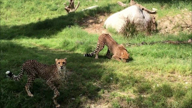 2016 10 07 Cheetahs at Living Desert