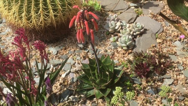 Succulents in the landscape UK