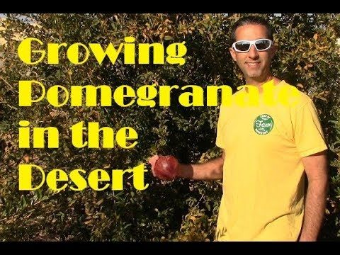 Growing Pomegranates in the Arizona Desert-Wonderful Pomegranate