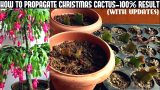 How To Propagate Christmas Cactus-100% Success