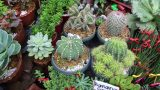 Baguio Cactus Plants