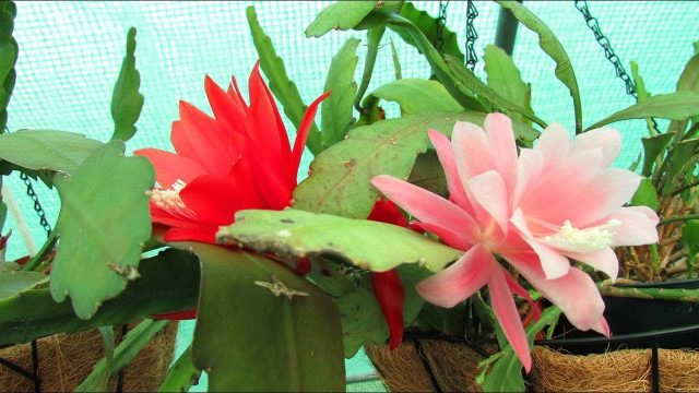 Flowering Epiphyllum Cacti 'Orchid Cactus' in the Polytunnel