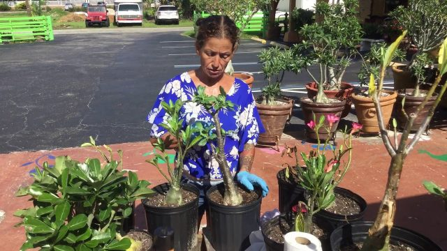 Desert roses detecting root rot or dehydration part 1
