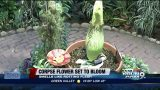 Corpse flower set to bloom in Tucson Botanical Gardens