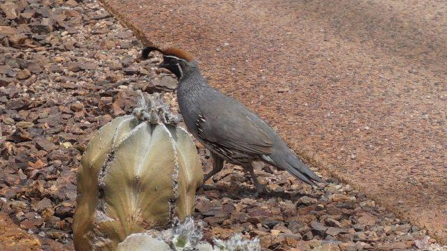 Gambel's Quail at Desert Botanic Garden  甘贝尔鹌鹑