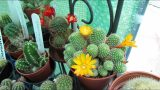 Flowering Rebutia Cacti Plants in the Polytunnel