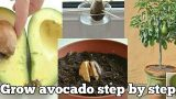 How To Grow Avocado Plant Indoors Step By Step