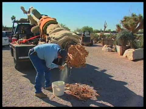 How To Transplant A Saguaro Cactus
