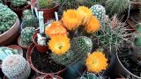 My Lobivia haemantha Cactus plant in amazing flower