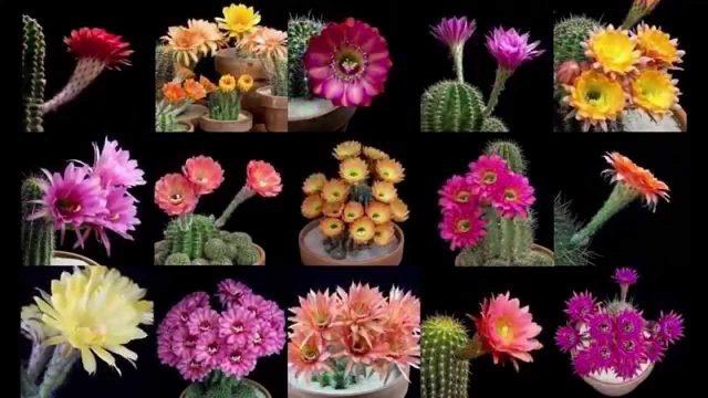 Cactus floreando en cámara lenta