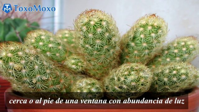 Cactus Mammillaria elongata ,Cuidados y Consejos !