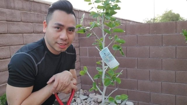 How to plant persimmon fruit tree | Las Vegas Gardening | Desert Gardening | GreenMangoes