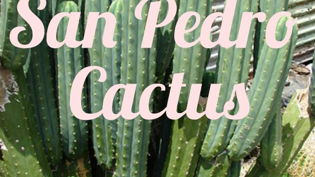 How To Plant San Pedro Cactus Cuttings