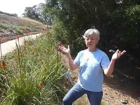 Drought tolerant grass substitutes