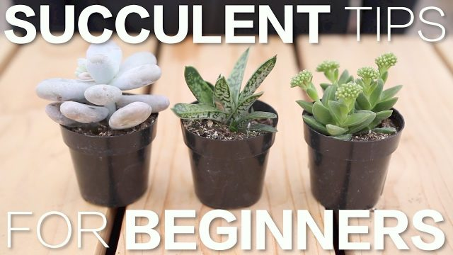 Succulent Tips for Beginners // Garden Answer