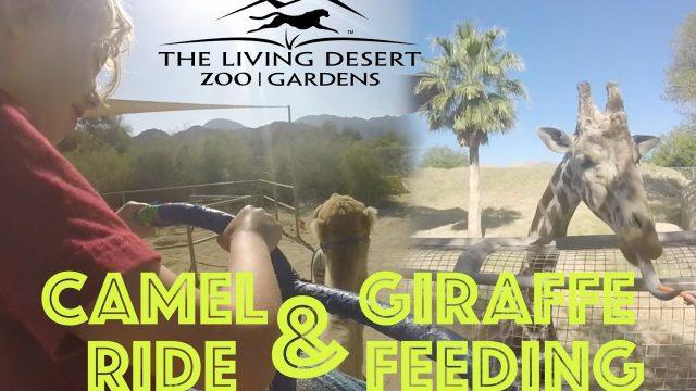 The Living Desert Zoo Camel Ride & Feeding a Giraffe!