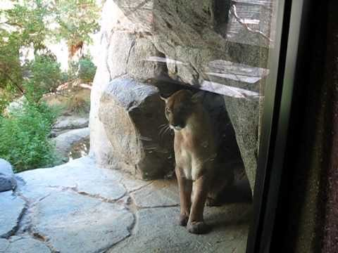 mountain lion Living Desert Palm Springs