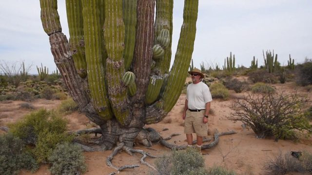 Cardon, the world's largest cactus.
