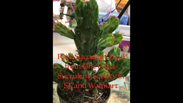 Haul!  Rare Succulents from Cacti/Succulent Society San Francisco and Walmart